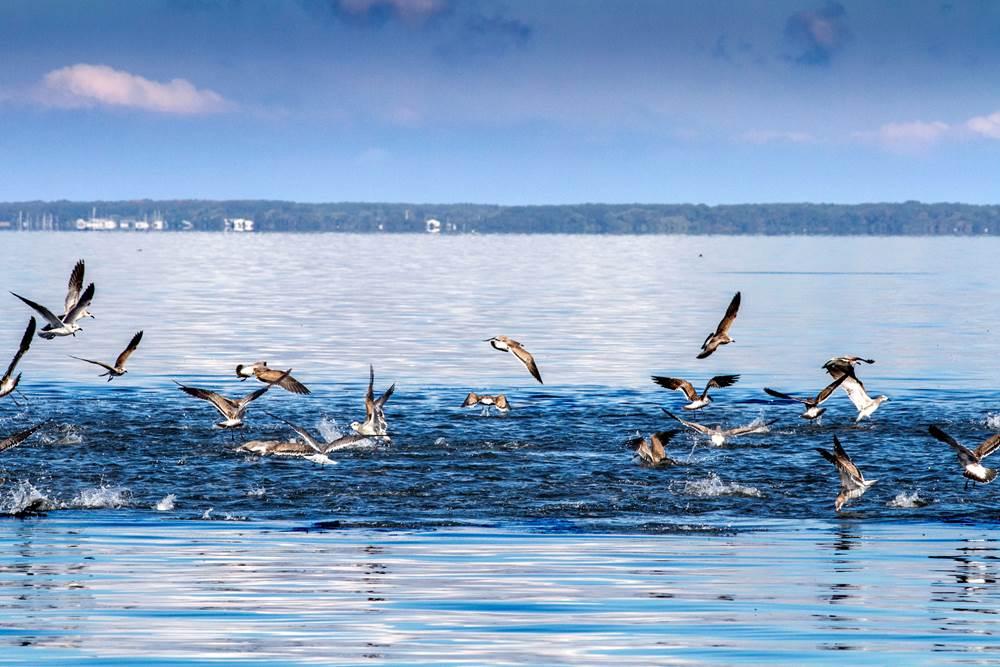 9 14 17 fly fish the chesapeake bay for Chesapeake bay fishing